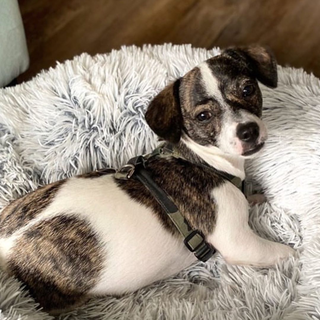 """""""I fostered then adopted """"Cake"""" in December. He's now Milo and six months old! Quarantine would not be bearable without him."""" #fostertoadopt #adoptionstories #rescuedog #hsnt #hsntalmuni #fosterfailpic.twitter.com/Dj0Hifml9z"""