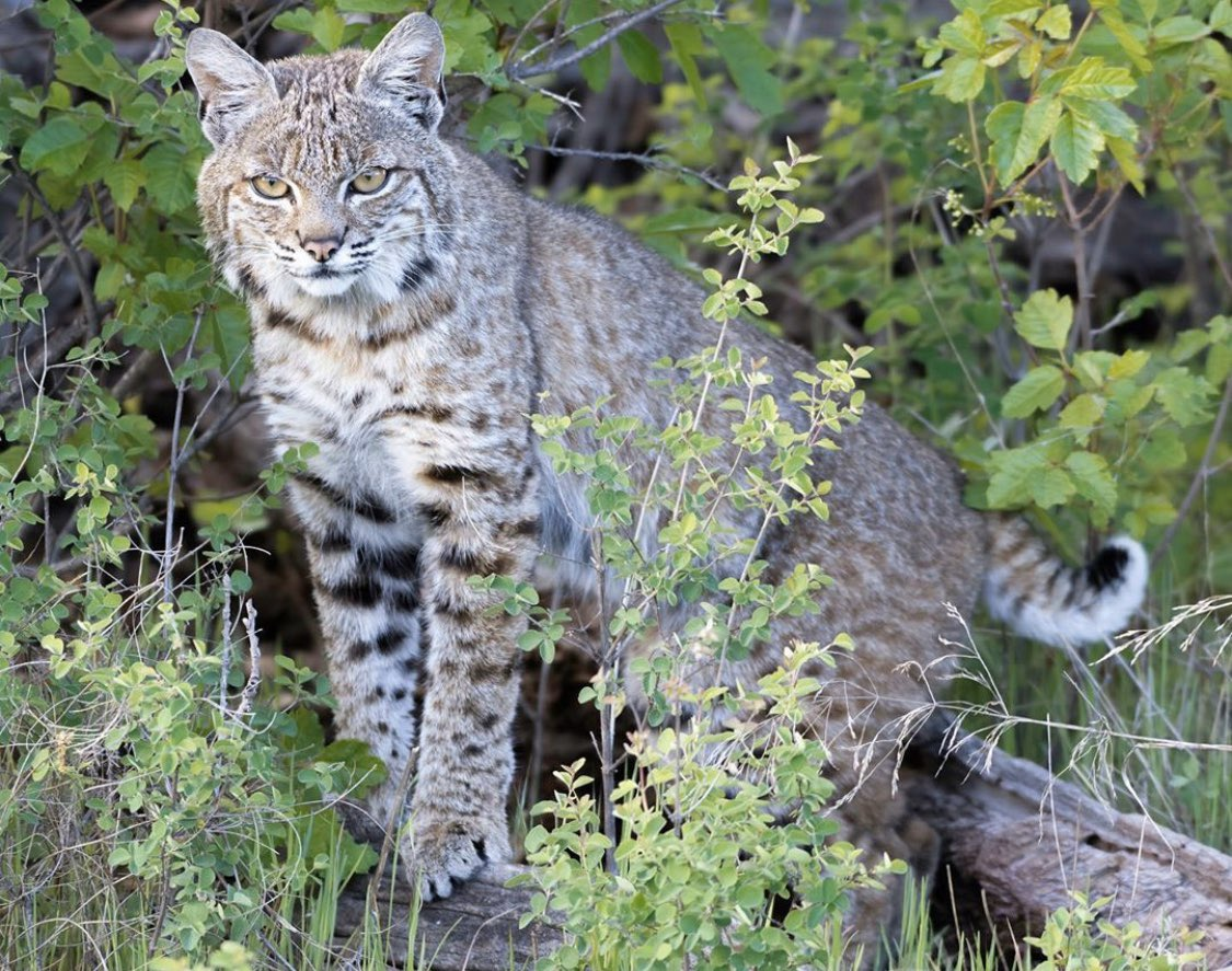 Beautiful bobcat by Sue Griffin !    • •    #bobcat #wildcat #coyotes #coyote #easterncoyote #easterncoyotes #coywolf #bears #grizzlies  #foxes #bobcats #coexistence #carnivorecoexistence #stopwildlifekillingcontests #wildlifephotography #animalphotography #urbancoyotespic.twitter.com/lCrcolN8PG