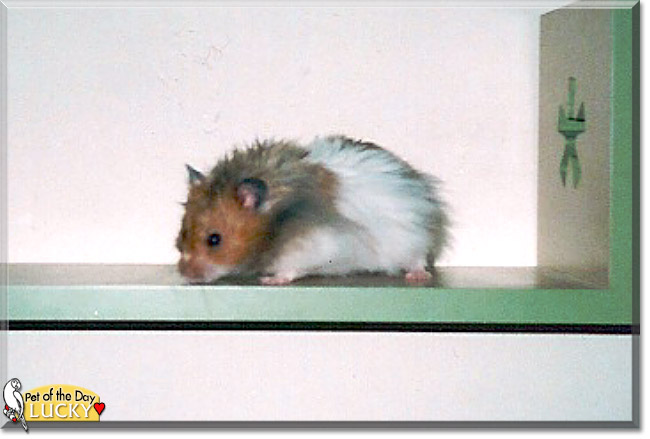 Saturday's Pet of the Day is #cute Lucky , a #Golden #hamster #love - read his tale at http://petoftheday.com/archive/2020/April/04.html…  #petoftheday #pets #petsofinstagram #pet #PetsOfTwitterpic.twitter.com/aSJ2OgV45n