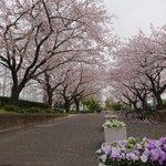 Image for the Tweet beginning: おはようございます。 人の少ない時間の朝散歩。 杉田公園、新杉田公園とも桜が見事です。  #杉田富岡新聞 #新杉田駅 #杉田公園 #新杉田公園 #磯子区