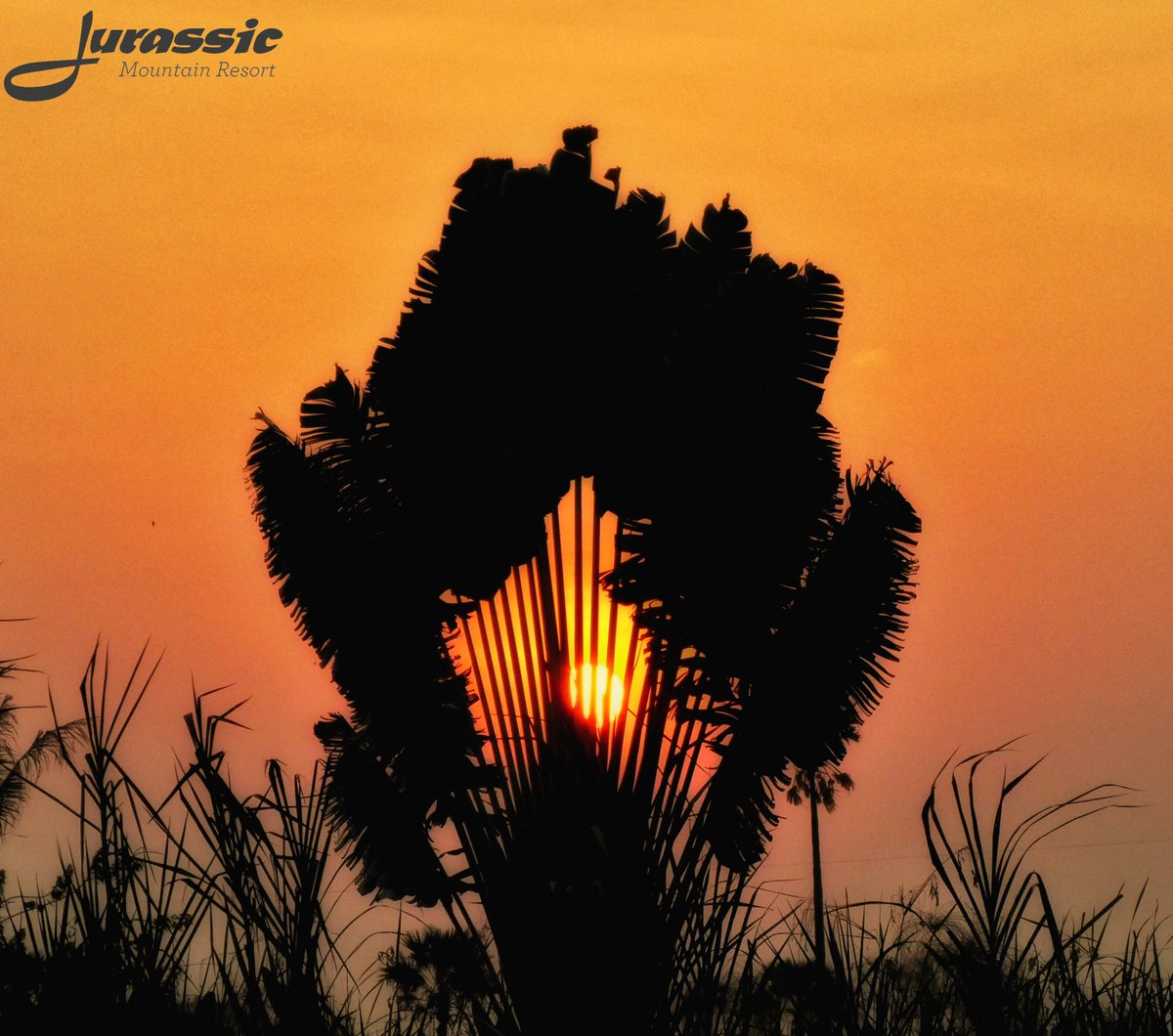 A fan palm tree silhouette cast against the remaining rays   http://www.jurassicfishingthailand.com   enquiries@jurassicfishingthailand .com  #garden  #home  #birds  #morning   #wildlife  #nature  #wildlifephotography  #photography  #park