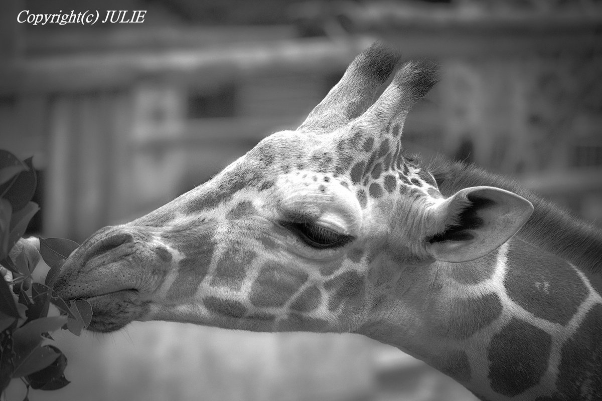 Giraffe  Inquiry about print, business: http://angeljulie.com/inquiry/  Portfolio site: http://angeljulie.com/inquiry/  #giraffe #animalphotography #monochrome #bnwphotographypic.twitter.com/i3JQnR8lU6