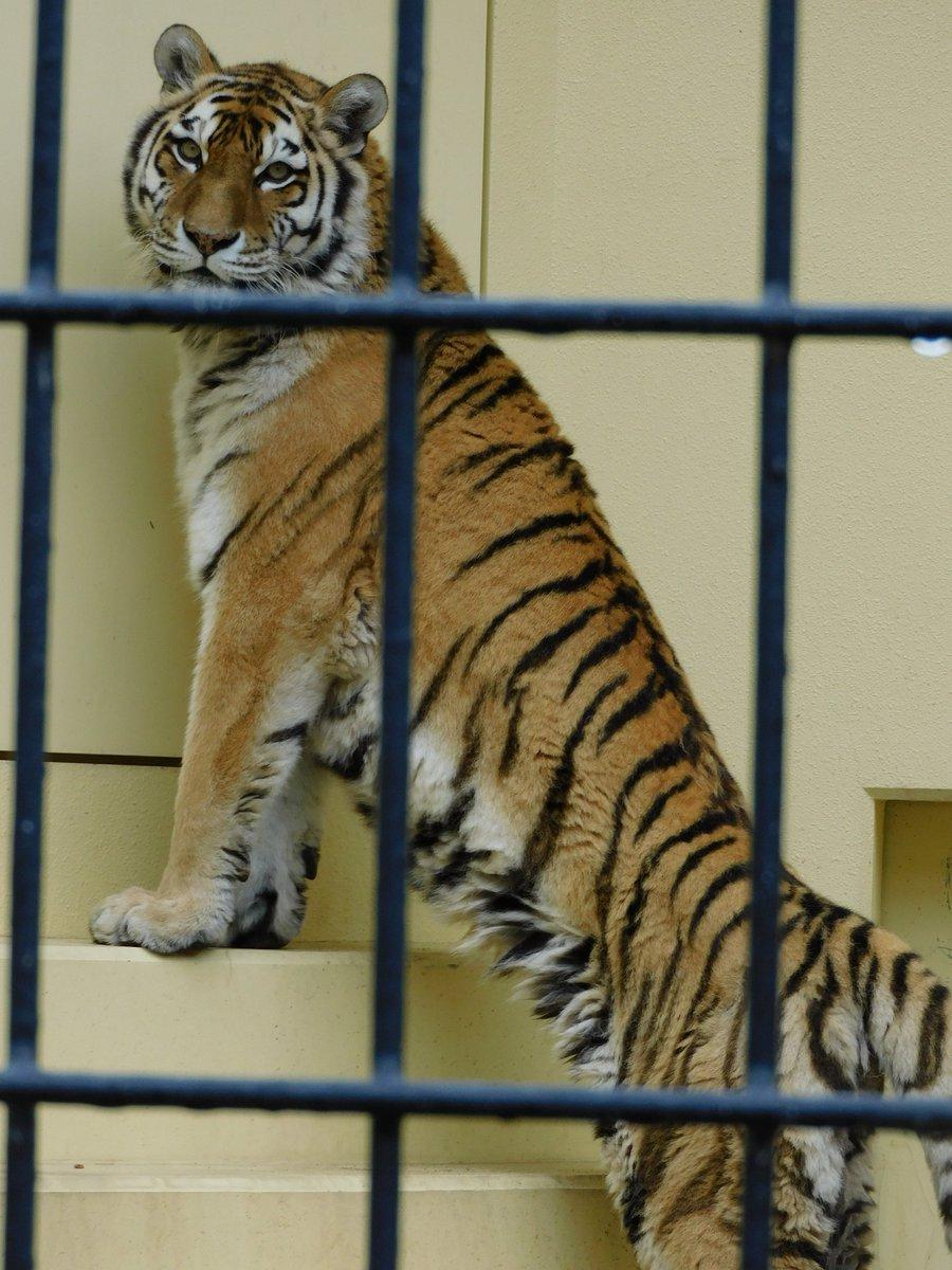 どうよ  #釧路動物園 #アムールトラ #チョコ pic.twitter.com/R6jrNRbdbW