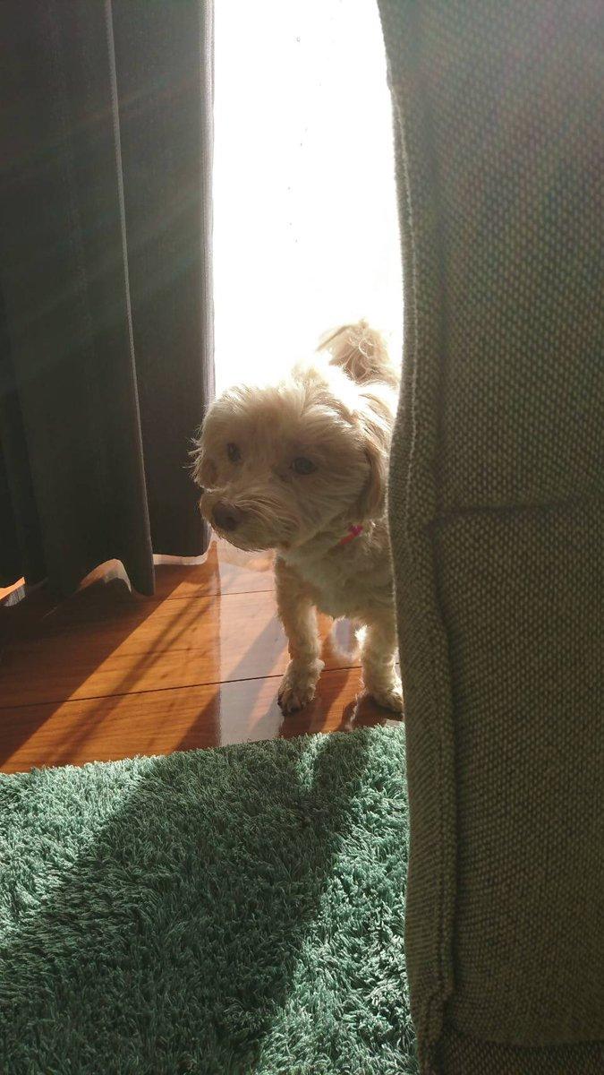 後光がすごいハルちゃんです #犬のいる暮らし  #犬好きさんと繋がりたい  #犬好きな人と繋がりたい pic.twitter.com/Hmzl8IOH8Z