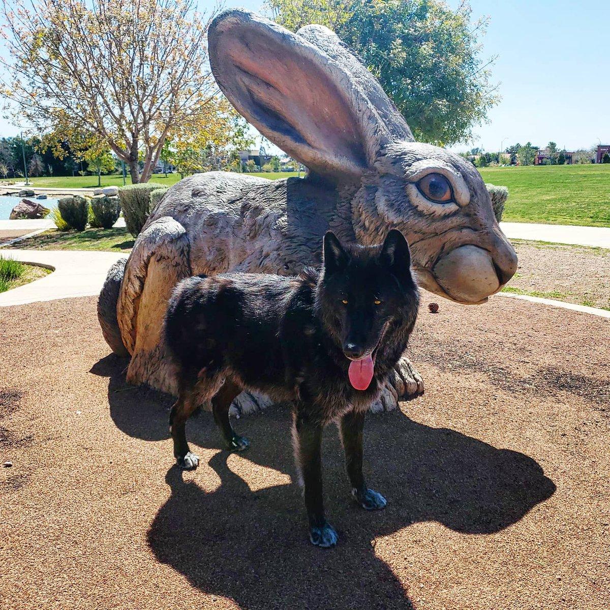 Momma I found a big bunny...can I eat it?  #wolfdog #wolfmix #blackwolf #blackphase #wolfhybrid #realwolfdog #blackphasewolfdogpic.twitter.com/3okr0bzrXN