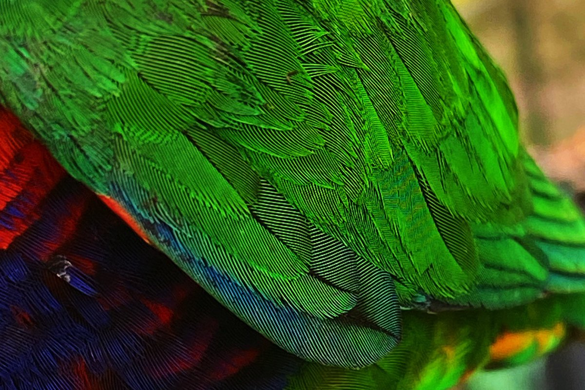Need some wonder? Here's a detail from our lorikeets wing.
