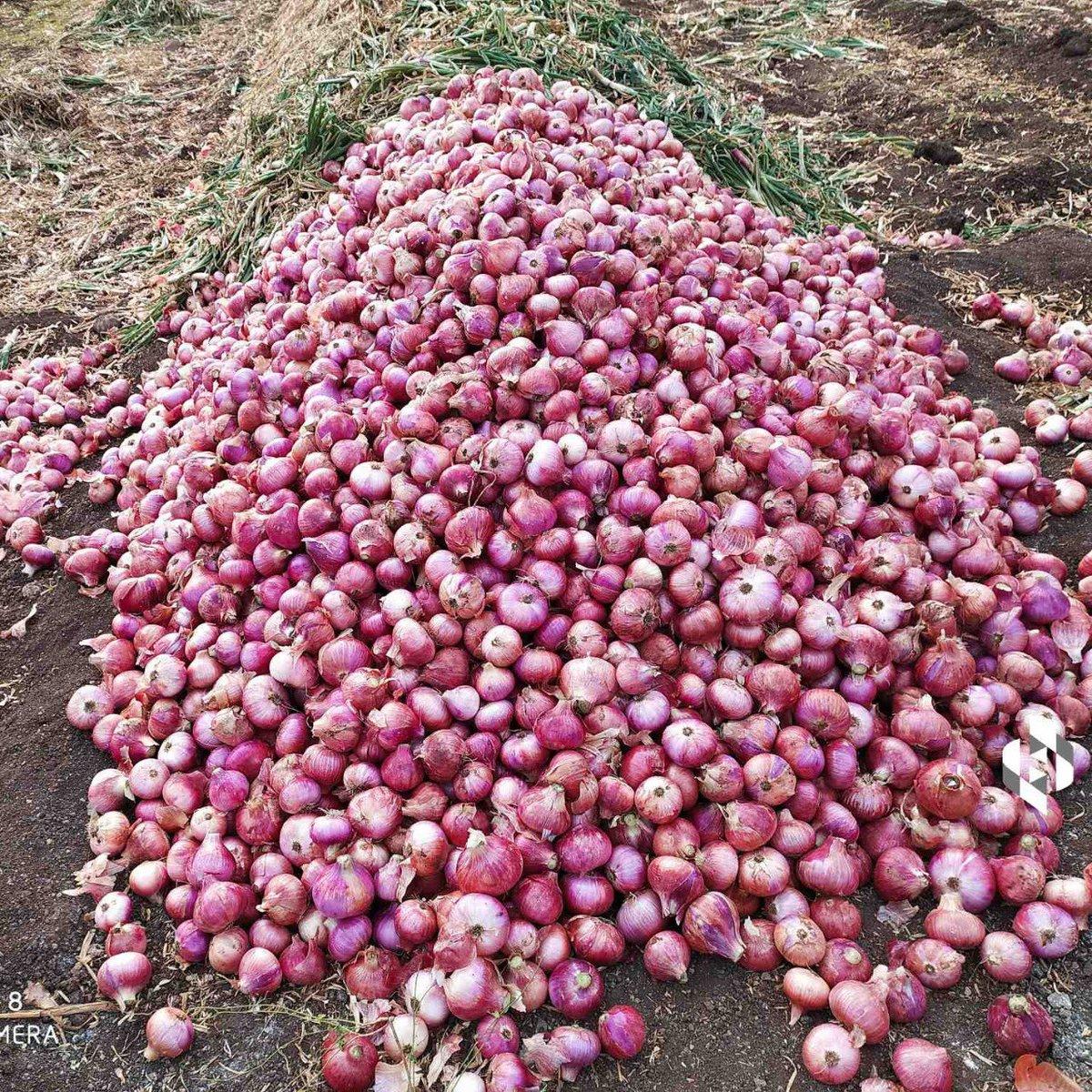 Karan Gosavi 9822242609 near Pune (MH) Onion (Garvi Kanda) Rs.15-18/kg, 17 tonne available