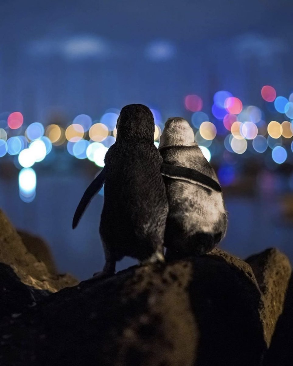 couldn't stop thinking about these penguins enjoying the Melbourne skyline together so i found the original photographer and apparently they're BOTH WIDOWED i can't handle it