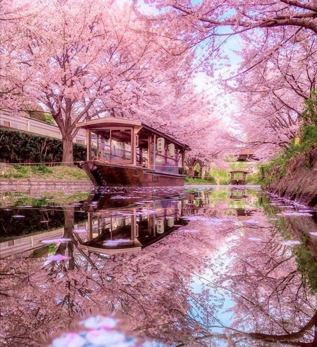 Cherry blossoms #SAKURA #Japan pic.twitter.com/GMESZgsXGu