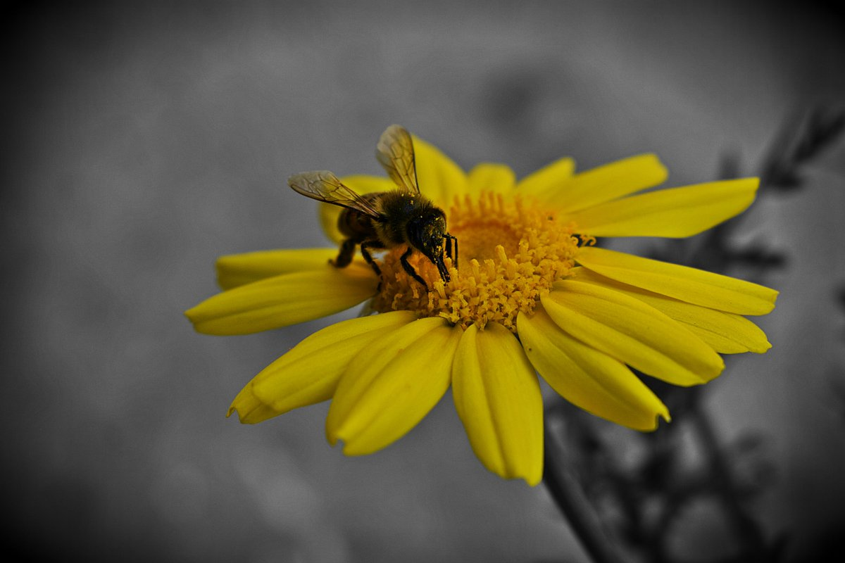 The bee collects honey from flowers in such a way as to do the least damage or destruction to them, and he leaves them whole, undamaged and fresh, just as he found them.  _ Saint Francis de Sales  #photography #photos #photooftheday #bees #flowerpic.twitter.com/gBMPzJEqQk