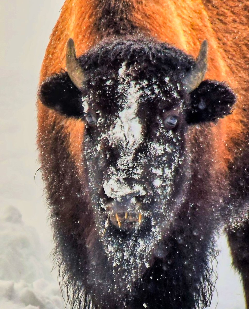A cold bison in Yellowstone two winters ago.  We loved experiencing the park at this time.  #Yellowstone #winter @LiveFunTravel1