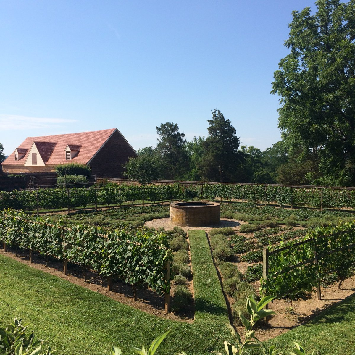 Vines and fig trees in the Lower Garden at George Washington's @MountVernon