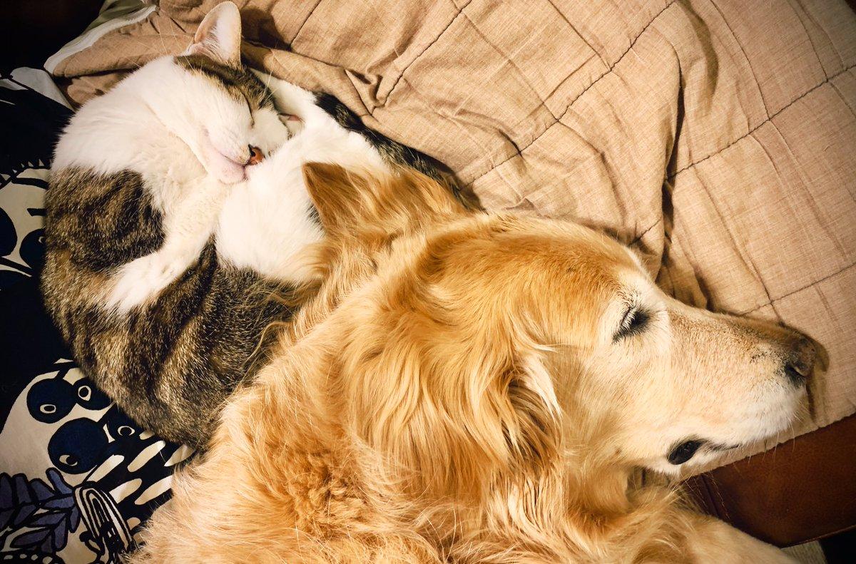 そろそろ寝ようねえ。 明日も元気に楽しく過ごせますように おやすみなさい  #犬 #犬好きな人と繋がりたい #ゴールデンレトリバー  #犬と猫  #多頭飼い #猫 #猫好きな人と繋がりたい #保護猫pic.twitter.com/r4ufAi4fjq