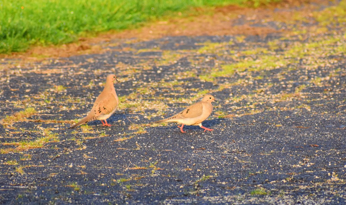 Two barn #doves at the #radio ranch pic.twitter.com/i6aOVxwdhE