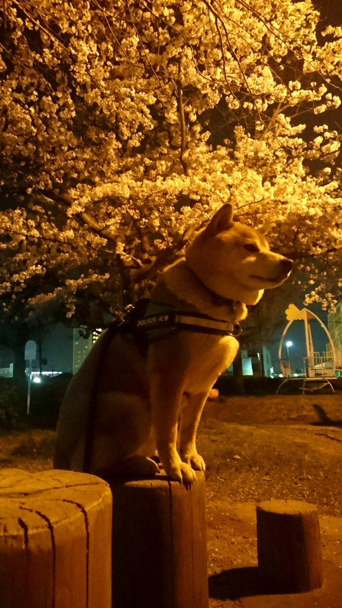 自粛散歩  夜ん歩は近所の公園まで 毎年ここでお花見してたのにね  おやすみなさい~  #柴犬 #わんこ #犬 #犬のいる暮らし  #犬のいる生活  #犬好きと繋がりたい  #犬好きな人と繋がりたい  #犬好きさんと繋がりたいpic.twitter.com/0WD2Rkxfy4