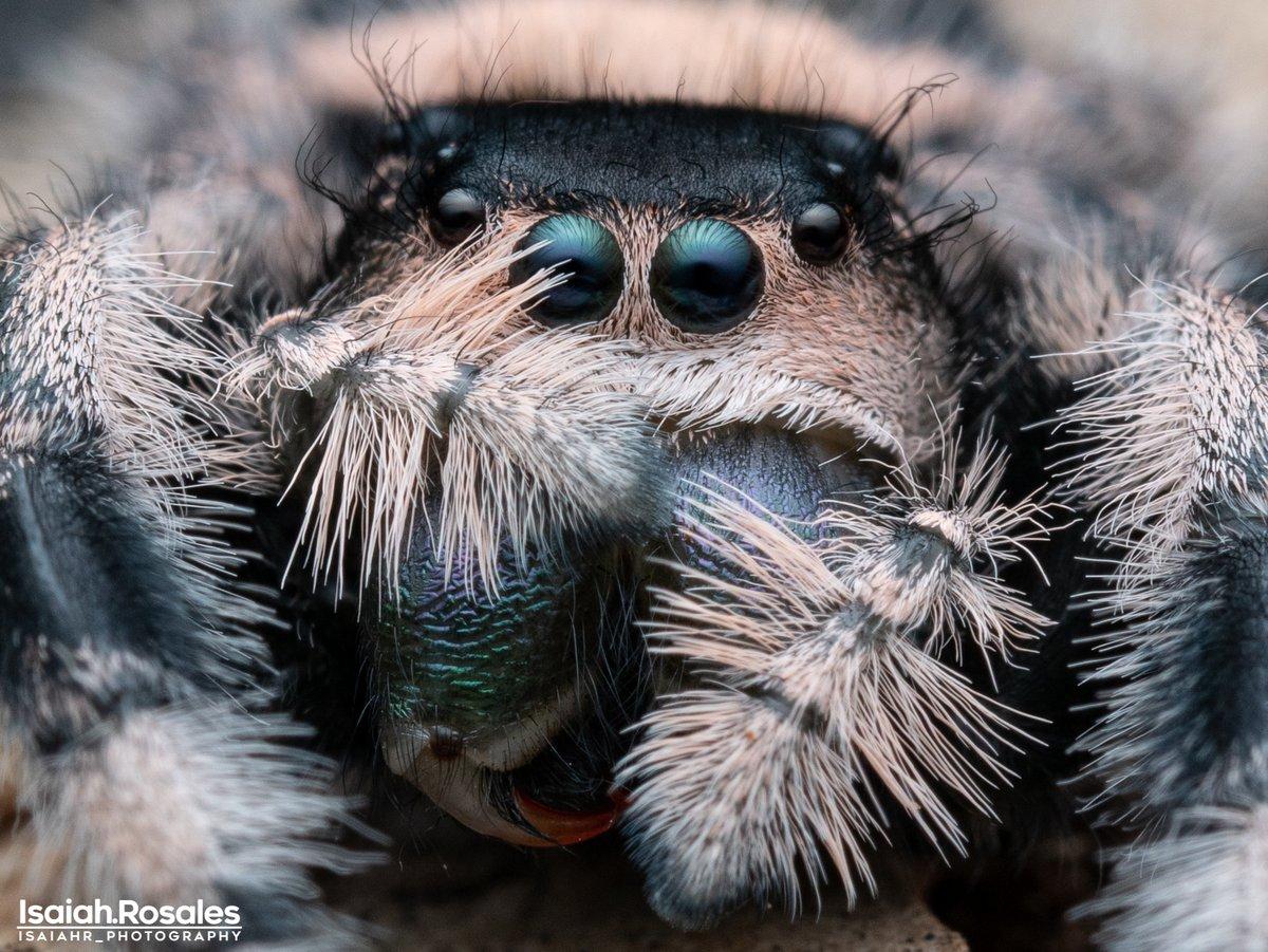 "To quote the great Mr. Miyagi, ""Wax on, wax off"" (#Phidippusregius)  #spiders #arachnids  #macro #cute #arachnology #invertebrates #photography #jumpingspiderpic.twitter.com/RQEm1sO81C"