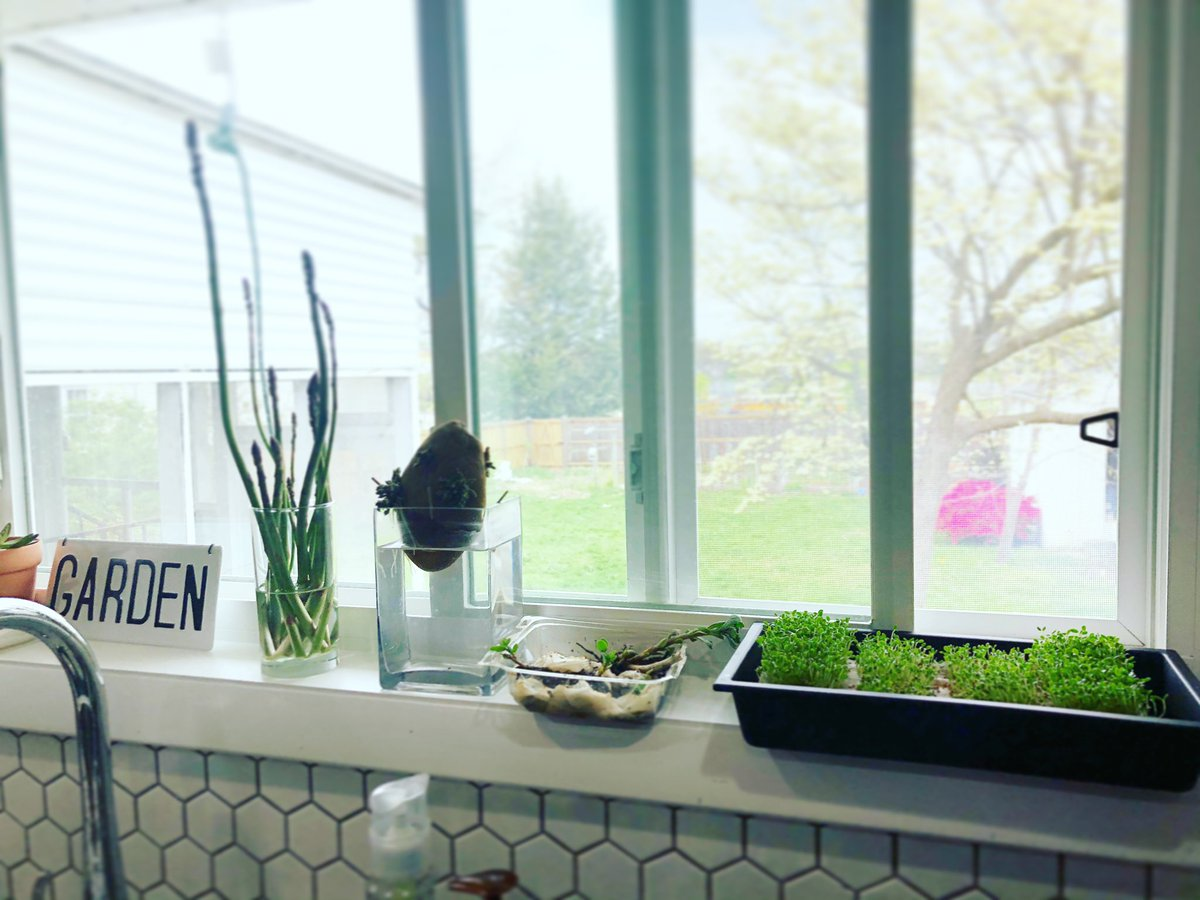 Kitchen window for a <a target='_blank' href='http://search.twitter.com/search?q=gardenteacha'><a target='_blank' href='https://twitter.com/hashtag/gardenteacha?src=hash'>#gardenteacha</a></a> Asparagus from the garden, potato sprouting, baby sedum to give away, and <a target='_blank' href='http://twitter.com/hamama_greens'>@hamama_greens</a> for eating! <a target='_blank' href='https://t.co/59d7jOOgFP'>https://t.co/59d7jOOgFP</a>