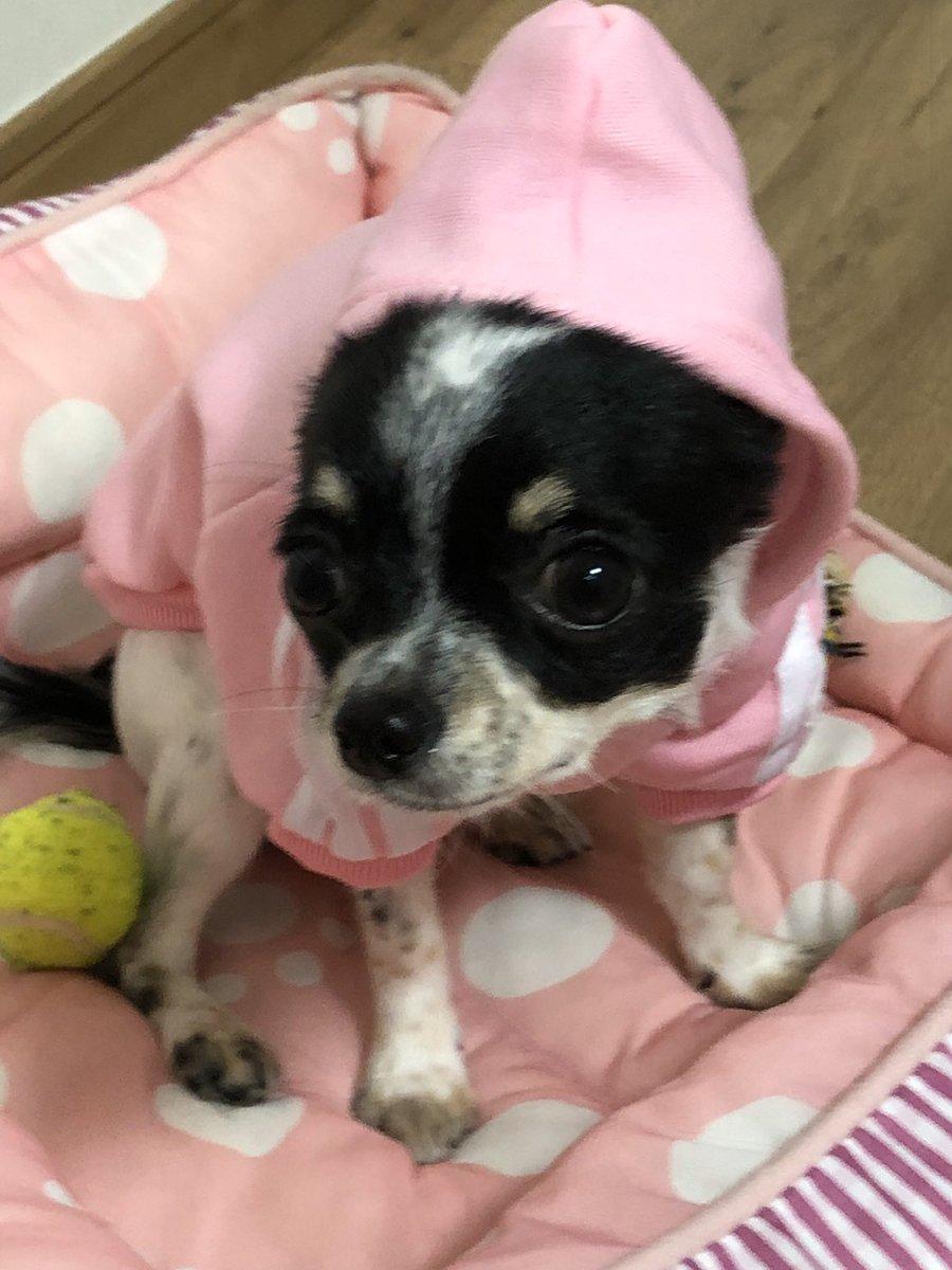 おはようございます まだ、ゆずには大きかった洋服  #チワワ #犬好きな人と繋がりたい  #犬のいる暮らしpic.twitter.com/zBaDPknRT2