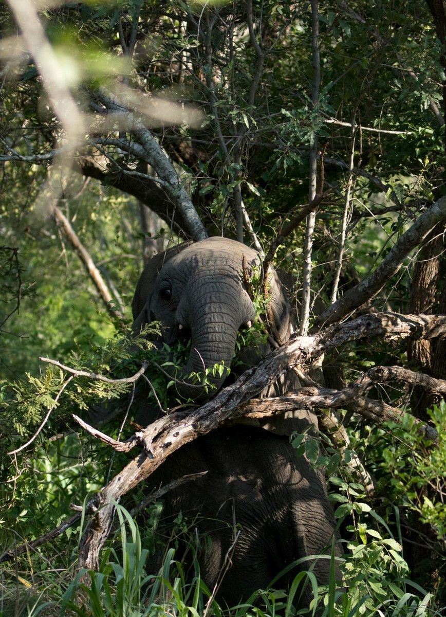 When elephants try play hide and seek http://www.garonga.com/   Sophie Barrett  #FoundYou #HideAndSeek #Elephants #BigFive #Safari #GameDrive #AfricanWildlife #Nature #GarongaSafariCamp #MakalaliConservancy #SafariDreaming #SeeYouJustNowpic.twitter.com/ldAF7Y0wsJ
