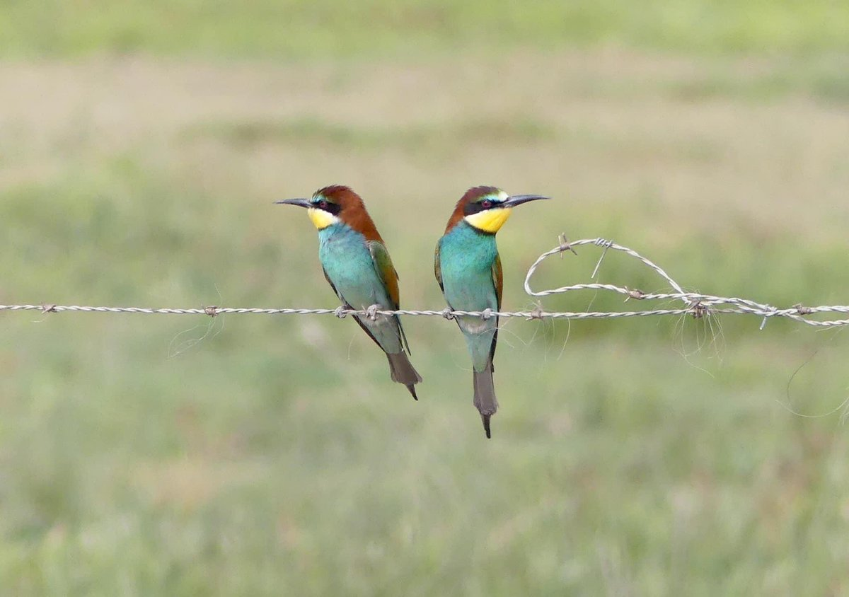 Two European Bee-eaters on a wire in #Spain in case you needed a splash of colour in the strange world we find ourselves. #StayHomeSaveLivespic.twitter.com/wQ5o7a0hNB