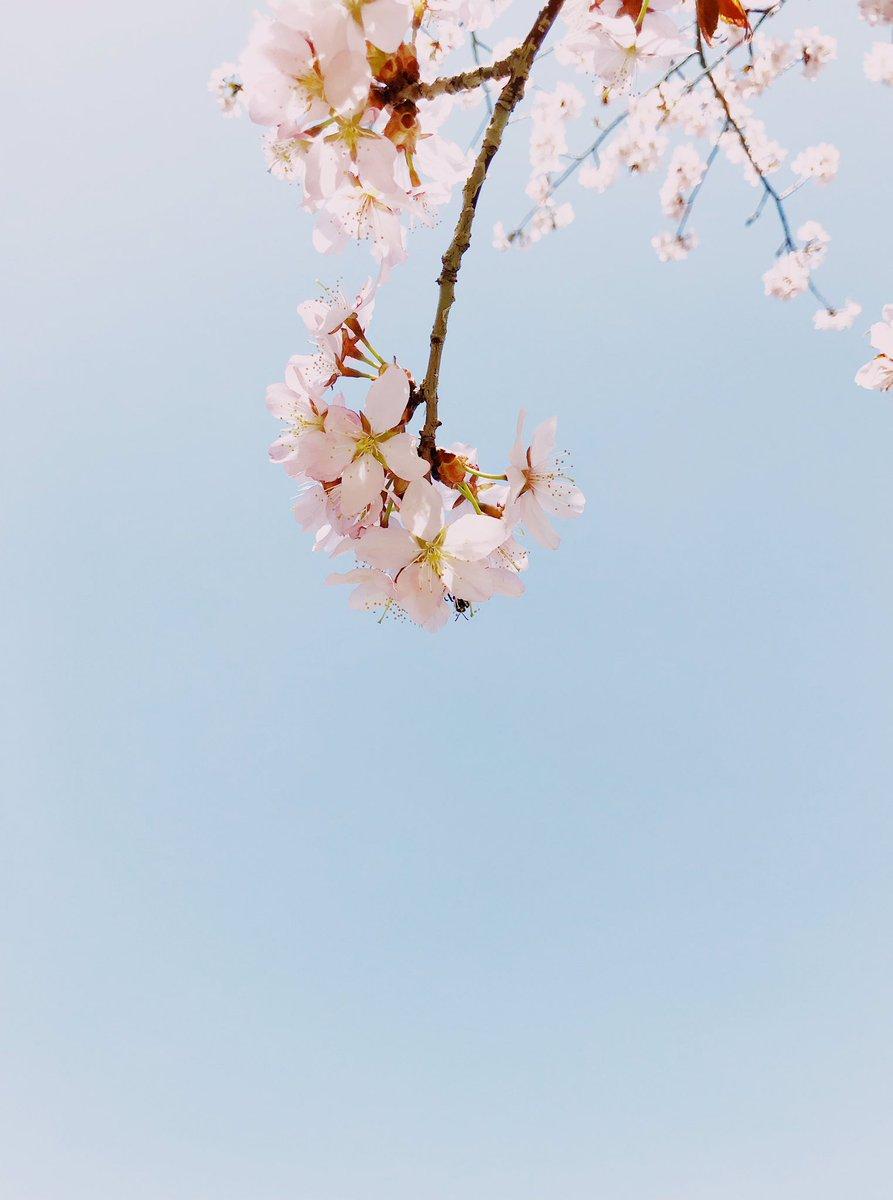 こちらではまだ桜は咲いてないので、去年撮った桜を上げてみます。 撮影 : 2019.5.5  #iphone7 #vscocam #ilivehere