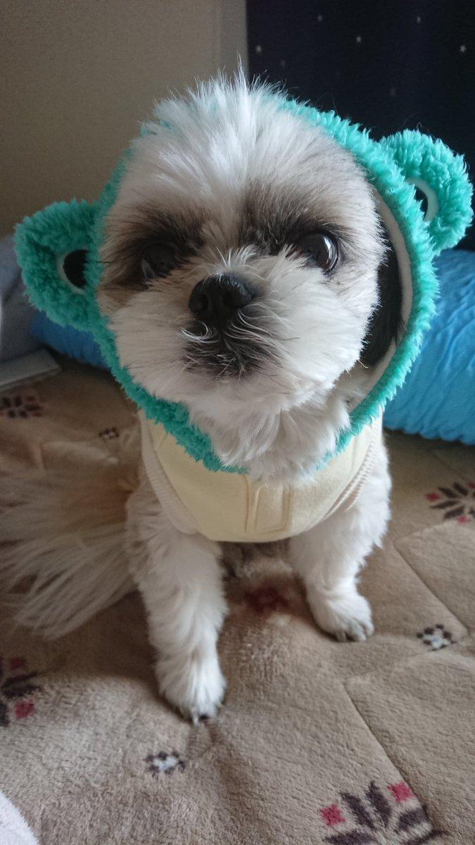 こんな時期ですがお誕生日なんです テンちゃん今日で8才になりました٩(ˊᗜˋ*)و 思えば8年前、1人のブサイクな子がいて…今ではこんなに可愛く愛おしい存在になってます #シーズー  #犬好きな人と繋がりたい  #お誕生日おめでとうpic.twitter.com/TnQoikk0ek