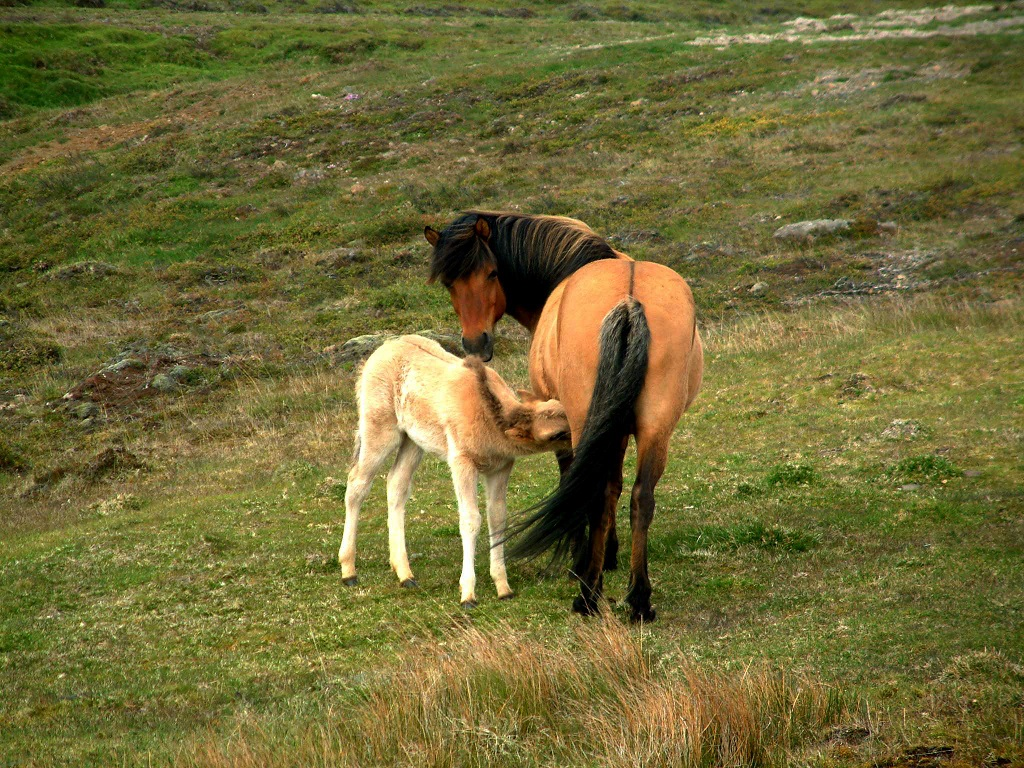 Icelandic ponies, from my first trip way back in 2003 #horses  #nature #animals #animalphotography pic.twitter.com/kPiCE1o1VJ