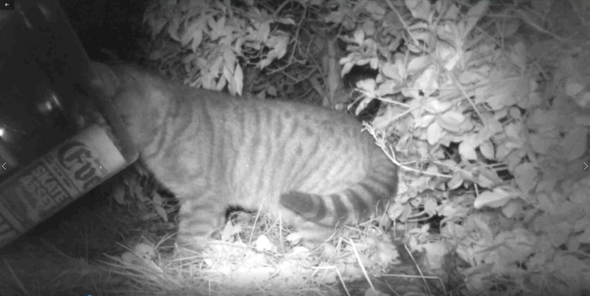 Cats on the #HogCam. Please note: none of these is our #cat #CatsOfTwitter #hedgehogs #hedgehog