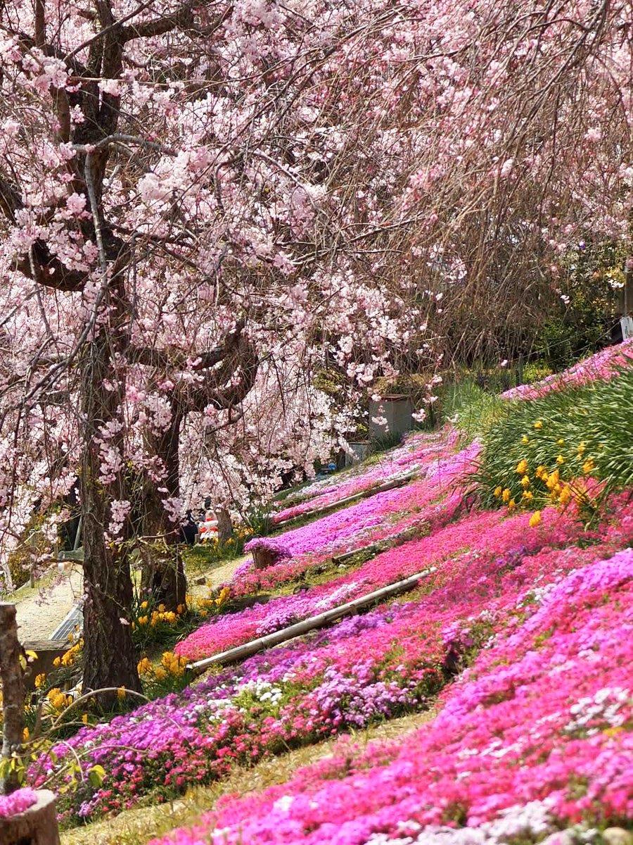 自宅から徒歩2分  バスは1時間に2本、サルやら鹿やら、たまにイノシシも山から下りてくる💦  でも… ウグイスと風の声✨ 地元の方々が丹精込めて育ててくださった花達が静かに優しく迎えてくれる大好きな場所🌸  皆さんへも癒しのひと時を🍀  *縦 #photo  #TLを花でいっぱいにしよう  #桜 #春 #DYM