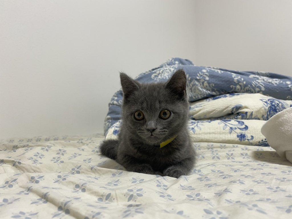 せまりくるせきぞう  #猫のせきぞう #ブリティッシュショートヘア #猫 #cat   #猫好き #猫好きさんと繋がりたい #猫のいる日常 #せまりくるせきぞう