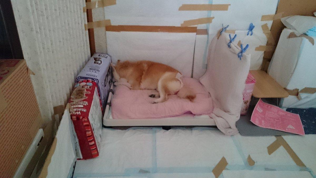 日和のゲージをとっぱらいました。  もう、ボケがひどくなってて、部屋の中、グチャグチャ(T0T)  ずっと回ってるので、疲れる私が!見てるので。。  質問なんですが、水をひっくり返してばかりで置けない どうしたら、いいのでしょう?  #秘密結社老犬俱楽部  #シニア犬 #前庭疾患 pic.twitter.com/7f8C3wxnCj