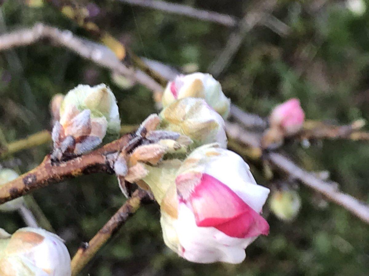 うちの枝垂れ花桃がもうすぐ開花^ ^ #花桃 #花桃の蕾 https://t.co/ryczL1U22J