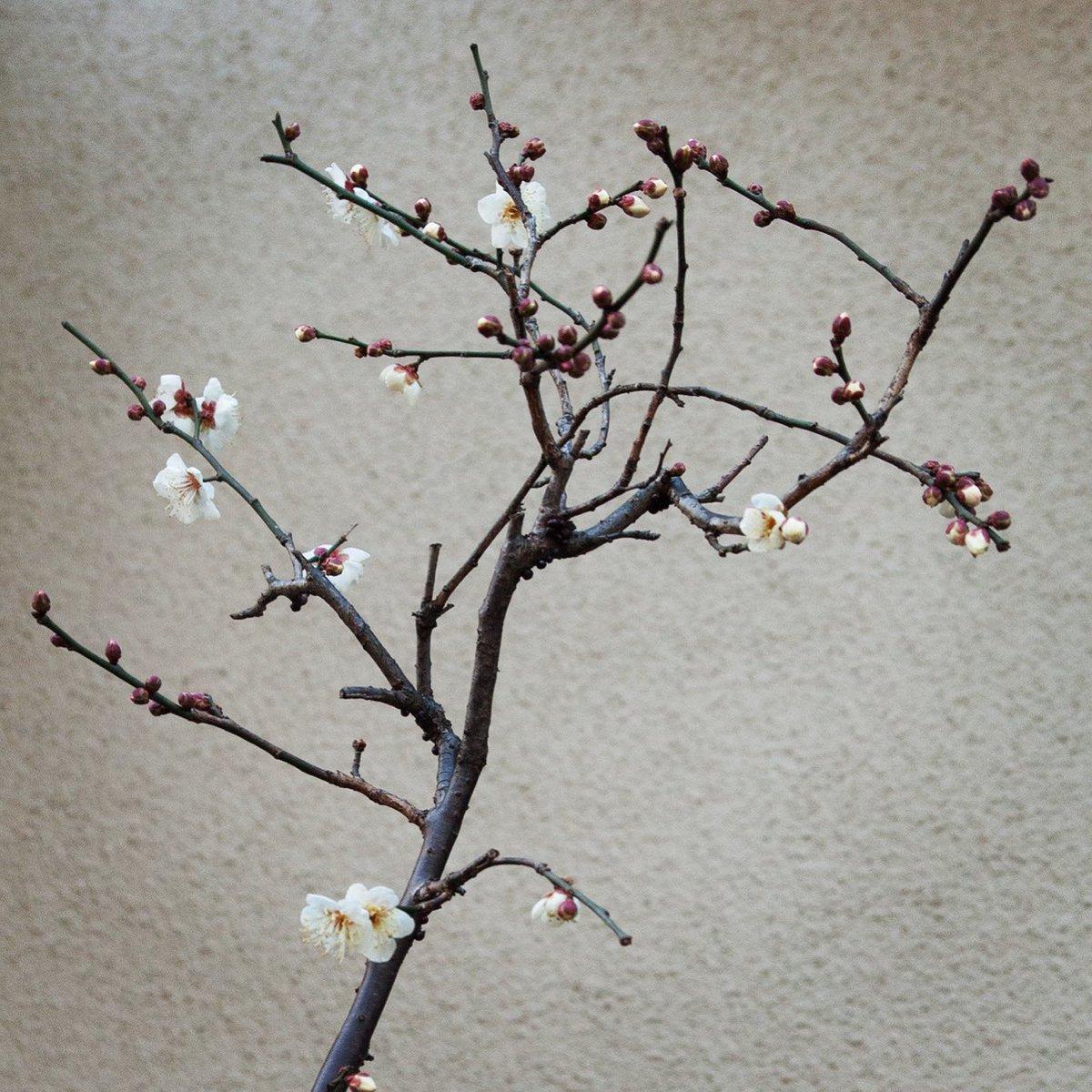 At the early spring  #snapshot #flowers #写真好きな人と繋がりたい #写真撮ってる人と繋がりたい #キリトリセカイ #ファインダー越しの私の世界 #半径500mのワンダーランド #東京カメラ部 #東京写真部 #pashadelicpic.twitter.com/rNKiCb8ZCD