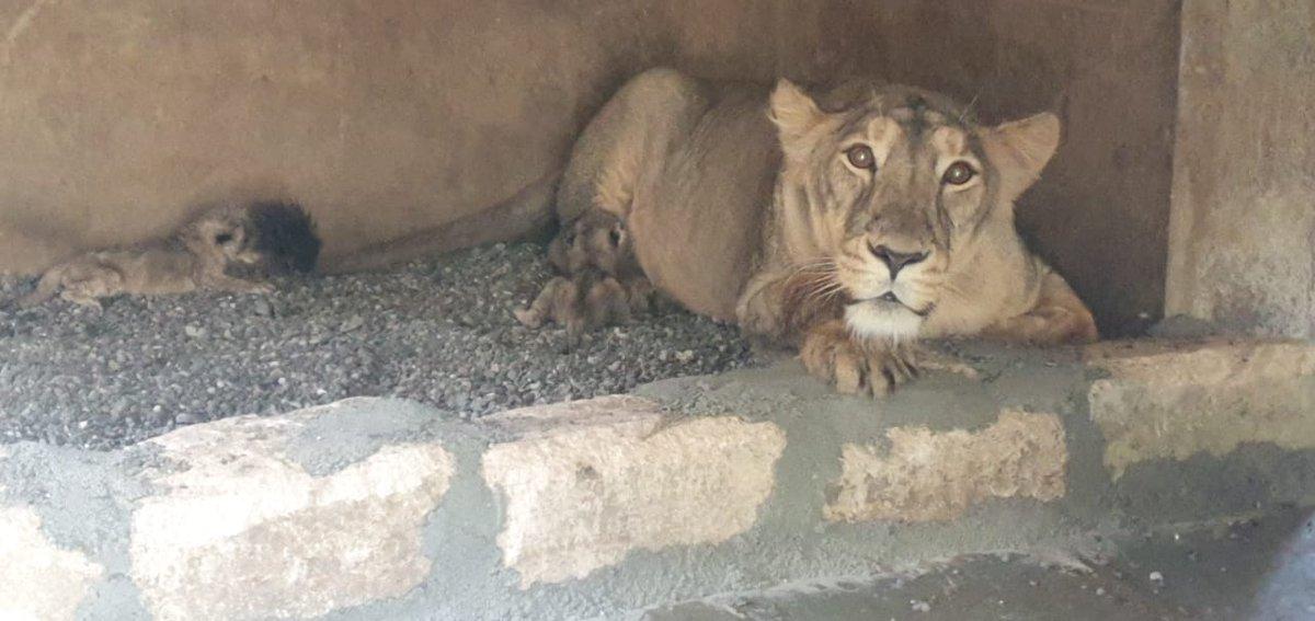 8 more lion cubs take birth in Sakkarbag Zoo of Junagadh
