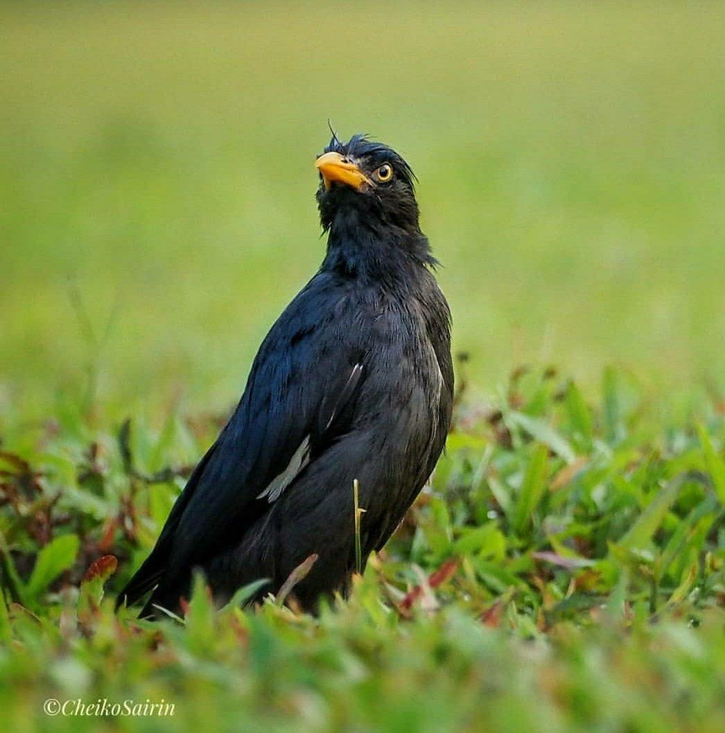 In Singapore, Javan Myna maybe is a common bird but it's beautiful #birdphotography #birds #birdwatcher #birdtherapy #nparksbuzz #sgbiodiversity #Singapore https://www.instagram.com/p/B-t5TlOgMOt/?igshid=1cb77q2lsg5x9…pic.twitter.com/NyuoXiSUeY – at Maris Stella High School