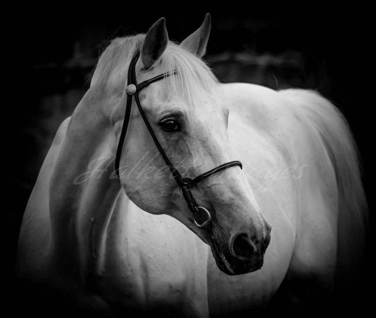 The stallion Silverstone #showjumper #stallion #scotlandaiservices #photography #photographer #horse #feipic.twitter.com/SxJuhwEhxq
