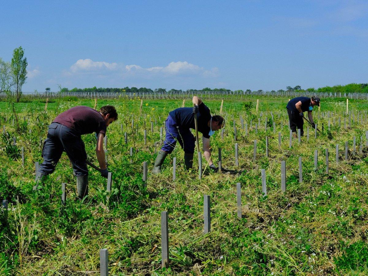 #LaVigneContinue, son travail parfois éreintant aussi ! Notre équipe dégage à la houe les herbes autour des  jeunes pieds de #vigne. #organic #vineyard #bio #Bordeaux  @VinsdeBordeaux @BordeauxWines @BordeauxWijnBE