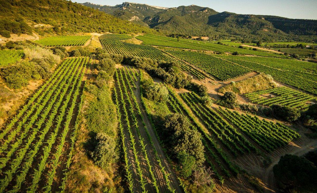 I aquí tenim els 3 bancals de #garnatxablanca destinats al vi blanc #Granit2019  2.400 ampolles que ja les podrem tastar el mes que ve #vinsdepropietat #winelovers #winetourism #priorat #montsant #vicatalàpic.twitter.com/DlrQ9EZjs7