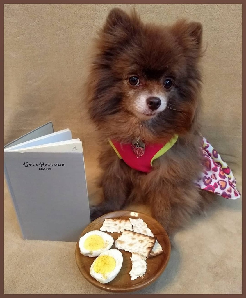 Happy  Pesach! Who else still has a Union Haggadah? And yes, I get to eat a little egg & matzo  (even though I screw up reading The Four Questions) . . . #dolcevitapomeranian #pomstagram #chocolatepom  #chocolatepomeranian #dogmodel #chocolatedog… https://instagr.am/p/B-uv_GMjnuA/ pic.twitter.com/EmYBhx2EGs