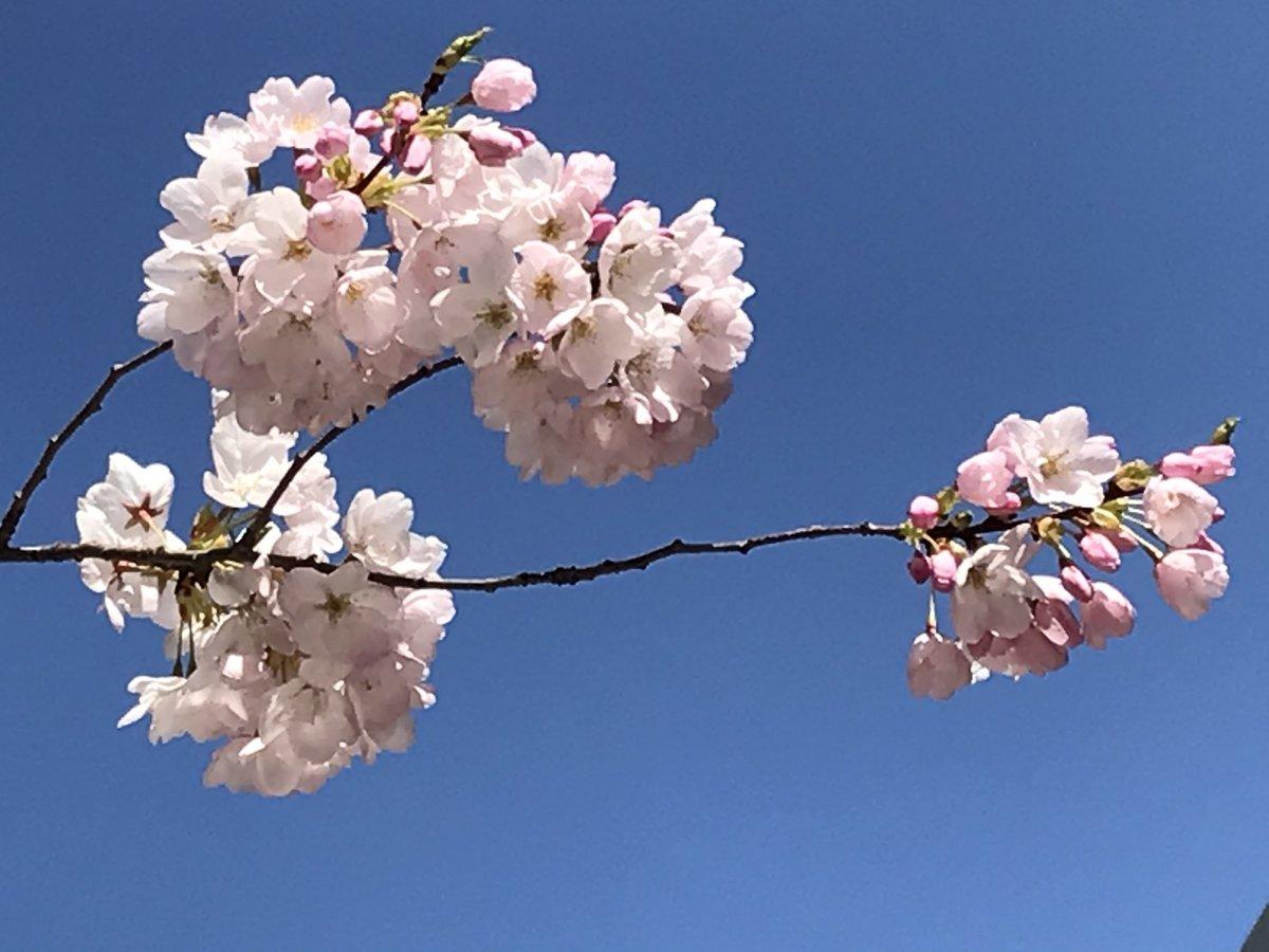 Burnaby Cherry blossoms. . . . . #explorebc #photos604 #igers #burnaby365 #pacificnorthwest #yourshotphotographer #ExploreCanada #life_in_canada #britishcolumbia #SonyAlpha #Photooftheday #vancherryblossomfest #burnaby365