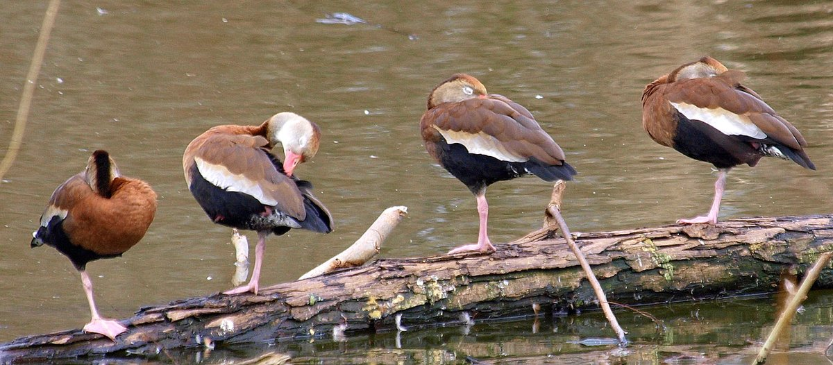 The 1-legged Duck Society Obviously they could not care less about my presence Black-bellied Whistling Duck (Dendrocygna autumnalis) Rogers Wildlife Rehabilitation Center  #wildlifephotography #ducks #NaturePhotography #birdphotography #naturephoto #birds