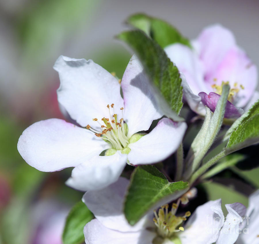 """""""A seed hidden in the heart of an apple is an orchard invisible.""""  - A Welsh proverb - Apple Blossoms ~  ~ #Spring #nature #NewRiverNature #NaturePhotography ~"""