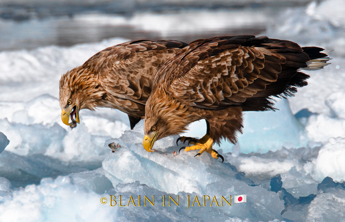 White-tailed eagles feeding on the pack ice in Hokkaido! #Japan #visitjapan #japanfocus #japandreamscapes #travel #travelphotography #nature #naturephotography #birding #birdingphotography #hokkaido  #日本 #写真  #ファインダー越しの私の世界 #旅 #旅行 #バードウオッチング #北海道