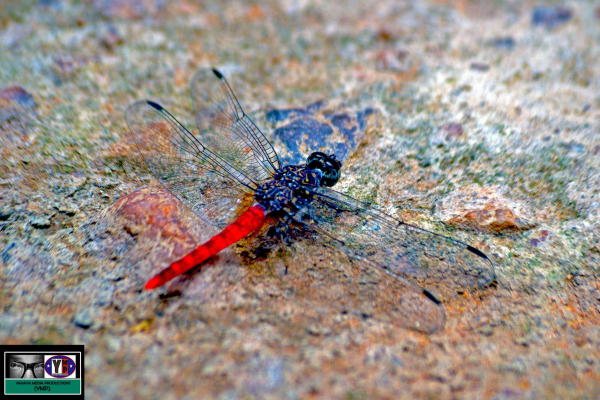 click on the link to read this intresting true life story of how i attempted to take pictures of roaming dragon flies with my camera #photography #photochallenge #photooftheday #COVID19 #natgeo #nature #naturelovers #NaturePhotography @NatGeoPhotos