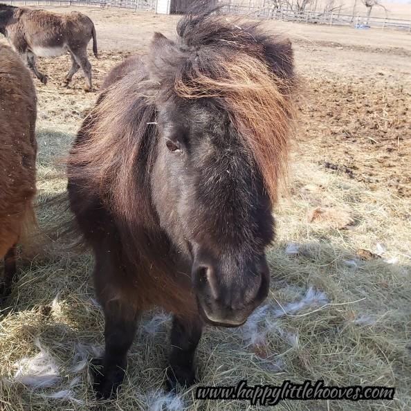 The Caker-oo. #happylittlehooves #pancakesthepony #ponyhour #minihorses #horses #ponies #minihorse #sillypony #winterwoolies #sofluffyicoulddie #teddybearears #isheevenreal #blackhorse #blackbeauty pic.twitter.com/q3ktWSCO96