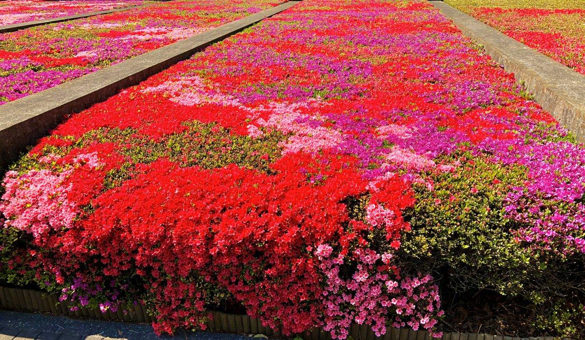 毎年恒例の某企業の #つつじ  #花 #flower #お花 #spring #photo #photograph #写真 #写真好きな人と繋がりたい #写真好きな人と繫がりたい #写真で春を届けよう #春 #お花見 #ファインダー越しの私の世界 #キリトリセカイ #写真撮ってる人と繫がりたい #写真撮るのが好きな人と繋がりたい