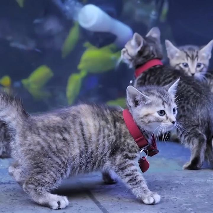 Staff from the Georgia Aquarium introduced month-old kittens — named Nemo, Dory, Guppy, Marlin and Bubbles — to exhibits of colorful fish and jellyfish last week.  The Georgia Aquarium has closed its doors in an effort to minimize the spread of coronavirus.pic.twitter.com/CuqClaTVcY