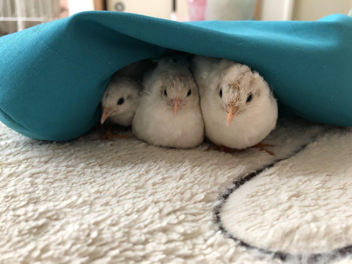 3密=3羽がぎゅうぎゅうに密着している様