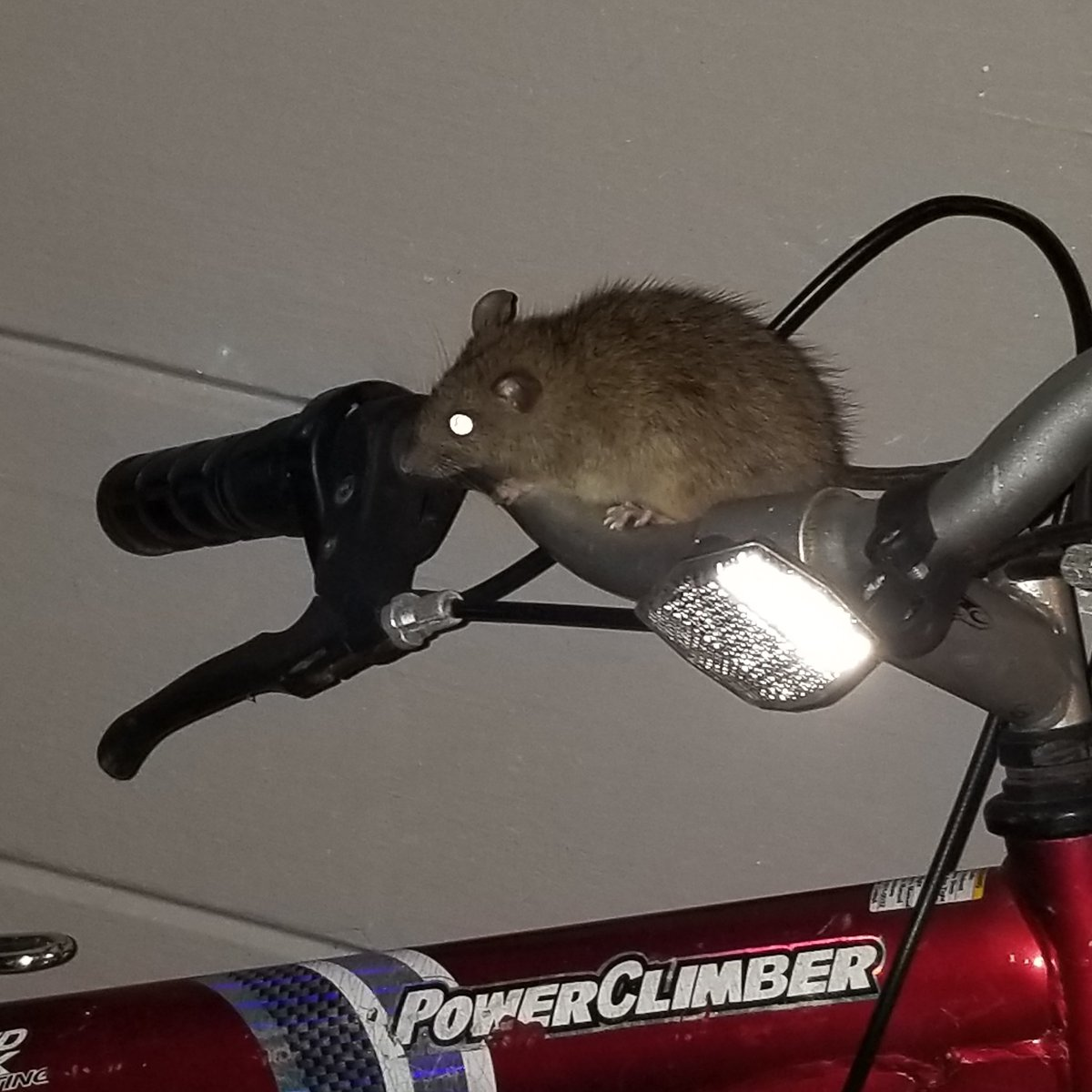 "Look at this chubby rat I found  on my older brother ""Jumbo Beasts"" bike.  #RATS  #night  #cuteanimalspic.twitter.com/qg7mUp1Byd"