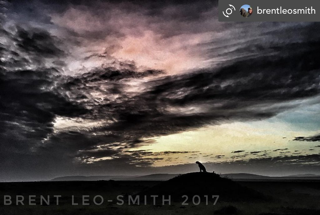 When asked about what camera equipment I use! Best answer is the one you have with you! This was taken with my iPhone! A member of the fast 5 on top of a termite mound at sunrise #safarilive #safariwithbrent #cheetah @PainteddogT #masaimara #kenya #africa #sunrise